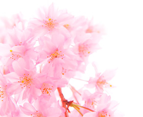 樱花提取精华