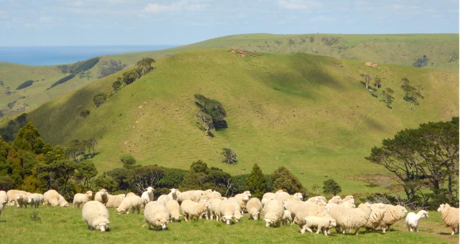 新西蘭産羊胎素