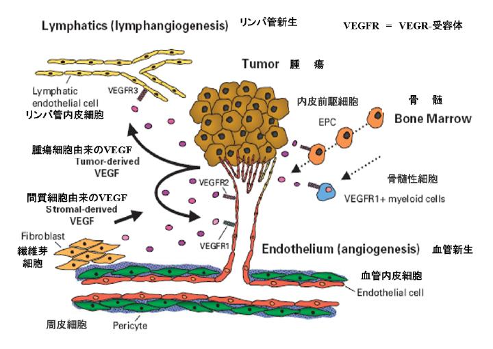 がんの増殖と転移にVEGF とその受容体の血管新生促進作用
