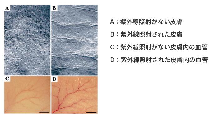 紫外線照射によるマウス皮膚シワの発生と血管新生の形成