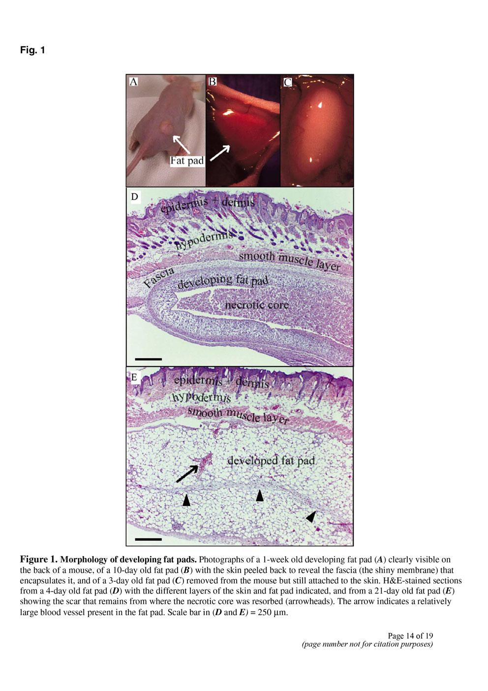 Angiogenesis in an in vivo model of adipose tissue development P14