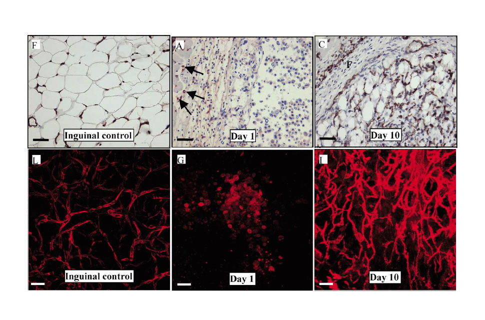 Angiogenesis in an in vivo model of adipose tissue development
