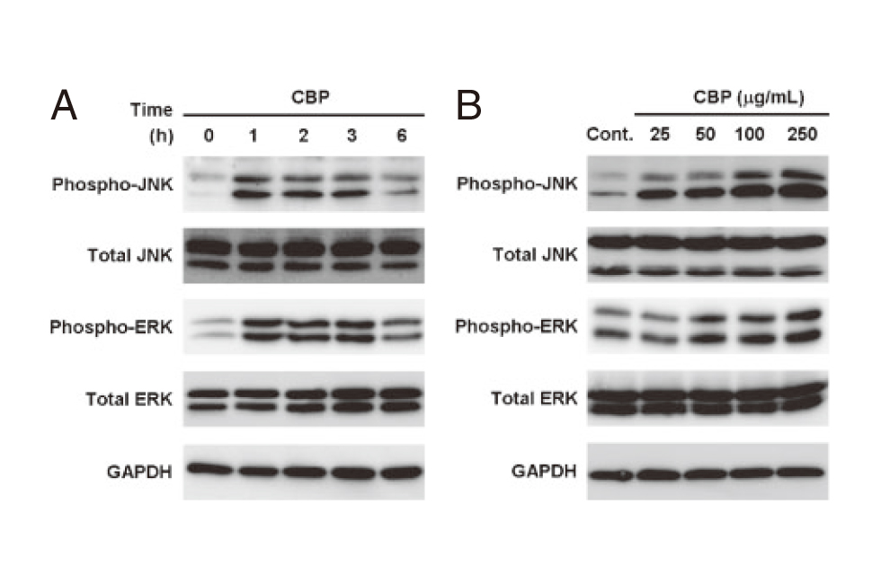 CBP Facilitate Osteogenesis through Activation of the JNK-ATF4 Pathway